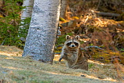 Raccoon (Procyon lotor) sitting in woodland, looking at camera. Acadia National Park, Maine, USA. April. - George  Sanker