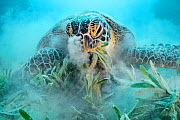 Green turtle (Chelonia mydas) feeding on Seagrass (Halophila stipulacea), blowing sand out of nostrils, on sea floor. Marsa El Shouna, Marsa Alam, Egypt.  -  Alex Mustard