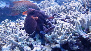 Common reef octopus (Octopus cyanea) hunting, with Coral trout (Plectropomus) following to pick up scraps, Uepi Island, Solomon Islands.  -  Fred  Olivier