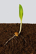 Maize (Zea mays) seedling with roots and early leaves, above and below ground.  -  Nigel Cattlin