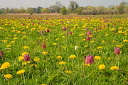 Snakes head fritillary (Fritillaria meleagris) flowering with Dandelions in meadow Cricklade, Wiltshire, England, UK, April. - Peter Lewis