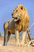 Adult male lion (Panthera leo) standing on the banks of the Luangwa River, South Lunangwa NP. Zambia.  -  Nick Garbutt