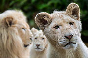 Leucistic white lions (Panthera leo krugeri) male and juveniles, Captive.  -  Philippe Clement