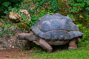 Aldabra giant tortoise (Aldabrachelys gigantea / Testudo gigantea) native to the islands of the Aldabra Atoll in the Seychelles. Captive  -  Philippe Clement