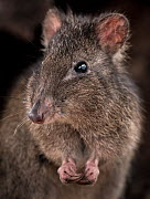 Long-nosed potoroo (Potorous tridactylus) portrait showing sharp curved claws on front feet for foraging, Victoria, Australia. Controlled conditions. - Doug Gimesy