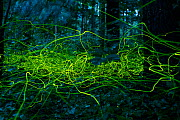 Firefly (Lamprohiza splendidula) light trails of males in forest, Bavaria, Germany. July. - Konrad Wothe