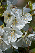 White flowers of a Victoria plum (Prunus domestica) with anthers, stamens, style and stigma, with leaves unfolding in early spring, Berkshire, England, UK, April.  -  Nigel Cattlin