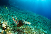 Octopus, (Octopus vulgaris), splashing a cloud of ink and swim away with Bearded fireworm, (Hermodice carunculata) who want to eat a small octopus, top of the wall of Bisevo, Vis Island, Croatia, Adri...  -  Franco  Banfi