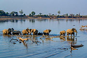 African elephant (Loxodonta africana) herd crossing the Luangwa river, Luangwa National Park, Zambia  -  Klein & Hubert