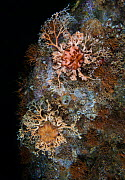 Northern basket stars (Gorgonocephalus eucnemis), branching and staghorn bryozoans, calcareous tubeworms, snails and barnacles, Baranof, Alaska, USA. August.  -  David Hall