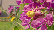 Female Goldenrod spider (Misumena vatia) on Annual honesty (Lunaria annua) flower, trying to catch a hoverfly, Bristol, England, UK, April.  -  Michael Hutchinson
