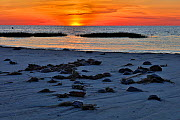 Stranded horseshoe crabs (Limulus polyphemus) at sunset; Delaware Bay, New Jersey, USA, June.  -  Doug Wechsler
