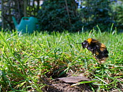 Buff-tailed bumblebee (Bombus terrestris) queen about to land at her nest burrow in a garden lawn with loaded pollen sacs to provision grubs that will become future workers for her colony, Wiltshire,...  -  Nick Upton