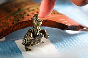 Juvenile Chinese pond turtle (Mauremys reevesii), taking food from hand. A tiny food pellet is visible at the tip of the finger. Rescued from a road, hand-reared now, Japan.  -  Tony Wu