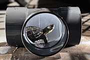 Juvenile Chinese pond turtle (Mauremys reevesii), measuing 9.5cm, exploring plastic plubing joint. Rescued from a road, hand-reared now, Japan. Controlled conditions.  -  Tony Wu