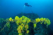 Rebreather diver exploring the stern of the Italian tugboat Ursus which sank on 31 January 1941, covered with yellow sponges (Aplysina cavernicola), near Stoncica lighthouse, Vis Island, Croatia, Adri...  -  Franco Banfi