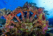 Railway engine wheel on the shipwreck of the Numidia, a 137 meter long British cargo ship which sank in 1901 off the northern end of Big Brothers Island. Marine life flourishes both on this artificial...  -  Brandon Cole