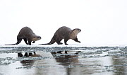 North American river otter (Lontra canadensis) female and cub walking across snow, reflected in water. Yellowstone National Park, USA, January.  -  Danny Green