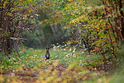 Red-necked wallaby (Macropus rufogriseus) in woodland clearing. Population naturalised after escaping from an animal park. Rambouillet forest, Ile-de-France, France. October 2019.  -  Cyril Ruoso