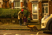 Local people watching the Red fox (Vulpes vulpes) at night, North London, England, UK. March.