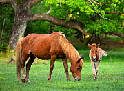 New Forest Pony mare and foal (Equus caballus) New Forest National Park, Hampshire, England, UK.