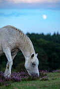 New Forest Pony (Equus caballus) with rising moon New Forest National Park, Hampshire, England, UK. August.