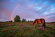 New Forest Pony (Equus caballus) with rainbow New Forest National Park, Hampshire, England, UK. August.