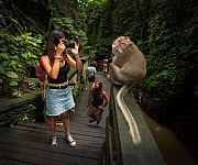 Tourists taking selfies with Long-tailed macaque (Macaca fascicularis) Ubud, Bali Indonesia. February 2019.