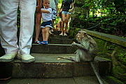 Long-tailed macaque (Macaca fascicularis) surrounded by tourists at Monkey Forest Temple Ubud, Bali Indonesia. February 2019.