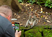 Tourist photographing Long-tailed macaque (Macaca fascicularis) Ubud, Bali Indonesia. February 2019.