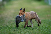 Red fox vixen (Vulpes vulpes) with dead Wood pigeon (Columba palumbus) she later fed to her cubs North London, England, UK. May.