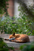 Red fox vixen resting on shed roof (Vulpes vulpes), North London, England, UK. August.