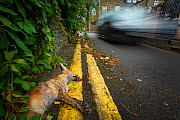 Red fox killed on the road (Vulpes vulpes), North London, England, UK. September.