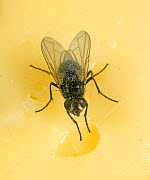 House fly (Musca domestica) on cheese, kitchen hygiene
