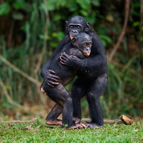 Bonobo Monkey Wiki Monkeys Bonobo Wiki