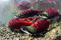 Sockeye salmon spawning, Canada