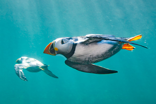 Diving puffins