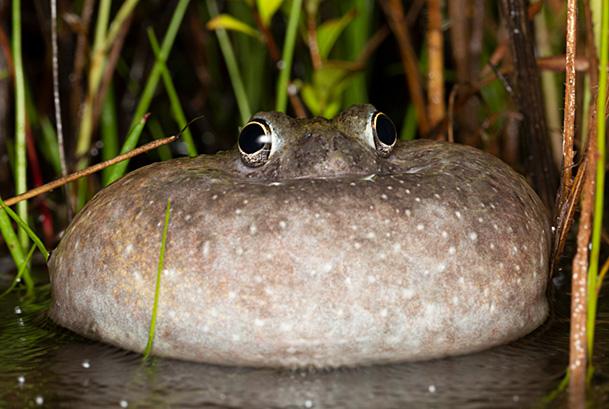 Northern spadefoot frog calling