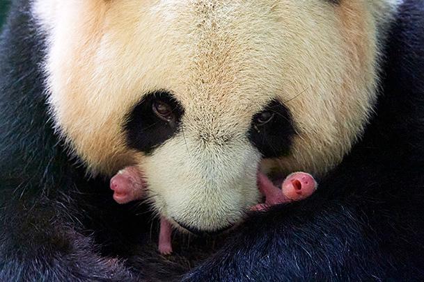 panda twins with mum